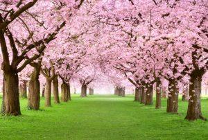 Paradiesische Parkallee Mit Dicht Blühenden Kirschbäumen Auf Grünem Rasen
