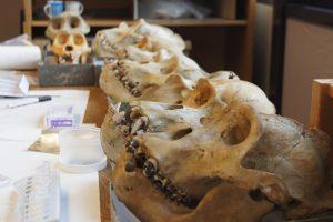 Schädel Östlicher Flachlandgorillas (auch Grauergorilla) im Königlichen Museum für Zentralafrika in Tervuren (Belgien), die typische Zahnsteinablagerungen auf den Zähnen zeigen. Die dunkle Färbung der Ablagerungen ist wahrscheinlich eine Folge der pflanzlichen Ernährung.